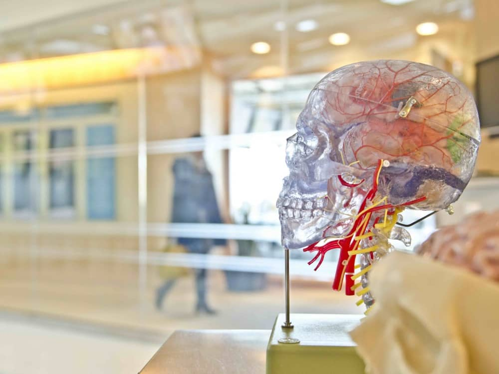 Transparent skull model showing how the brain is wired