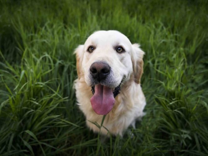 Wagging Tails Dog home hoarding ≠ labrador in a field