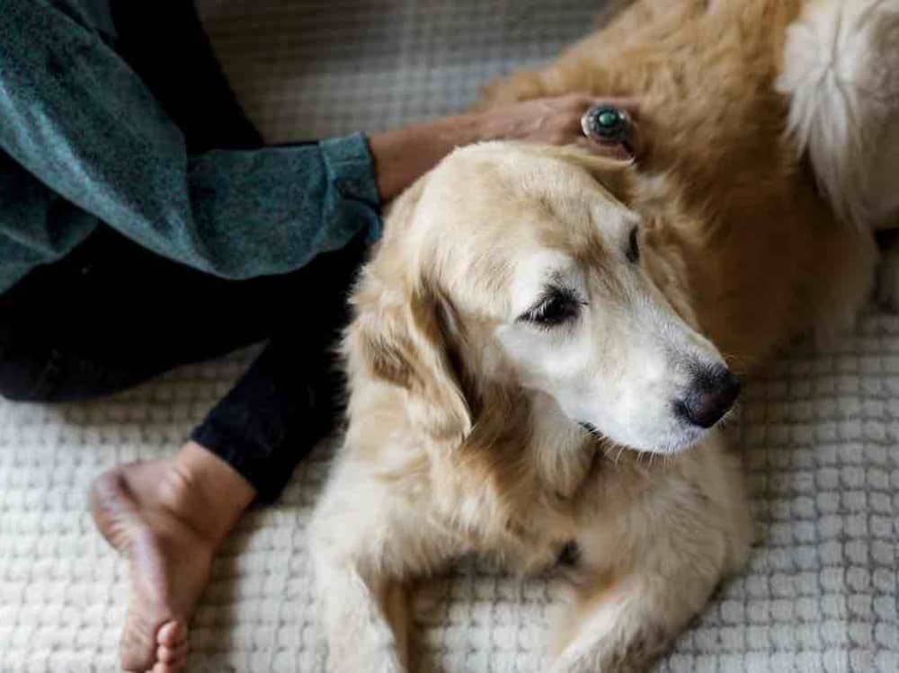 Wagging Tails SL Branch home boarding – love and cuddles with a golden retriever