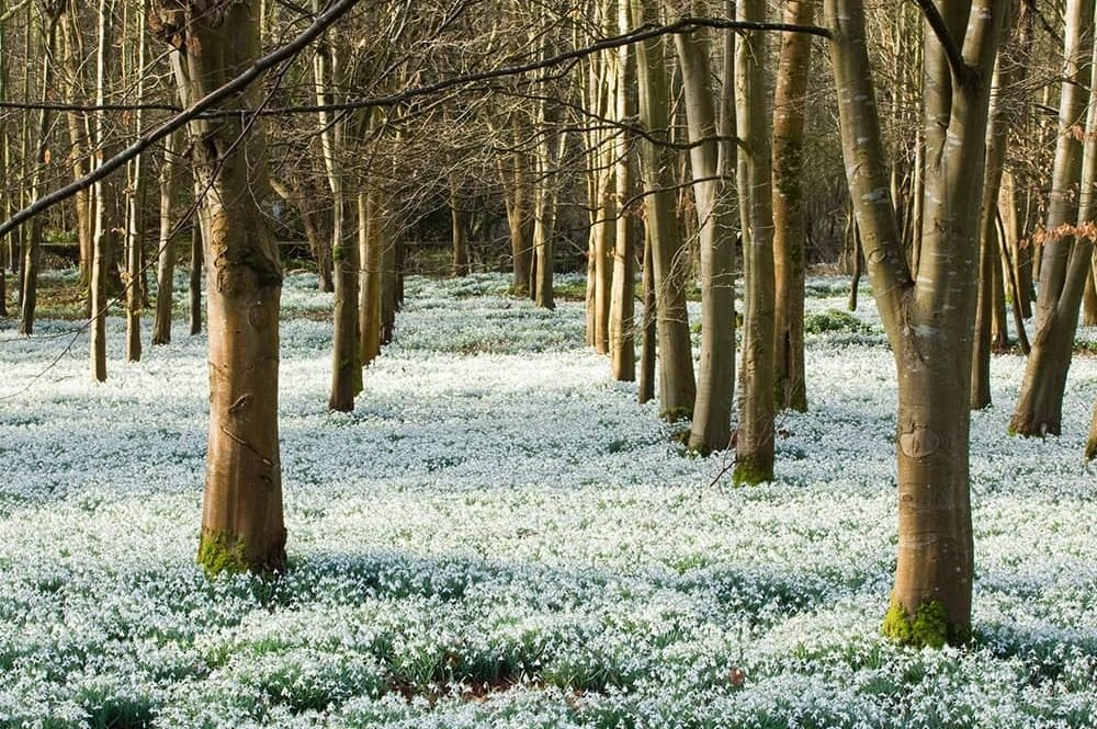 carpet of snowdrops in woodland at Welford Park Newbury