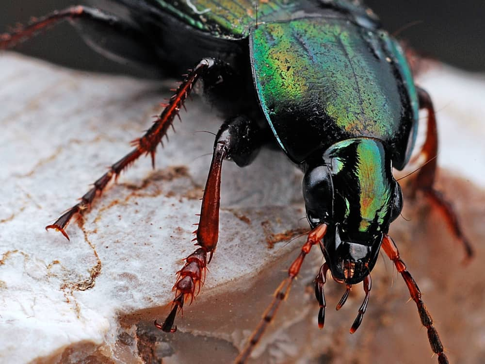 Beetle insect extreme close up nature