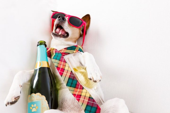 Drunk dog lying on the floor sunglasses wonky tie wine