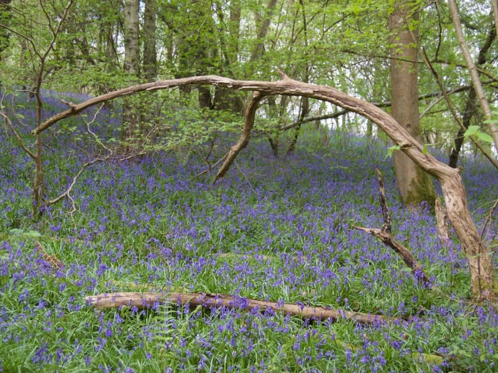 Carpet of bluebells in Bowdown Wood Newbury with a fallen tree in the middle of the shot