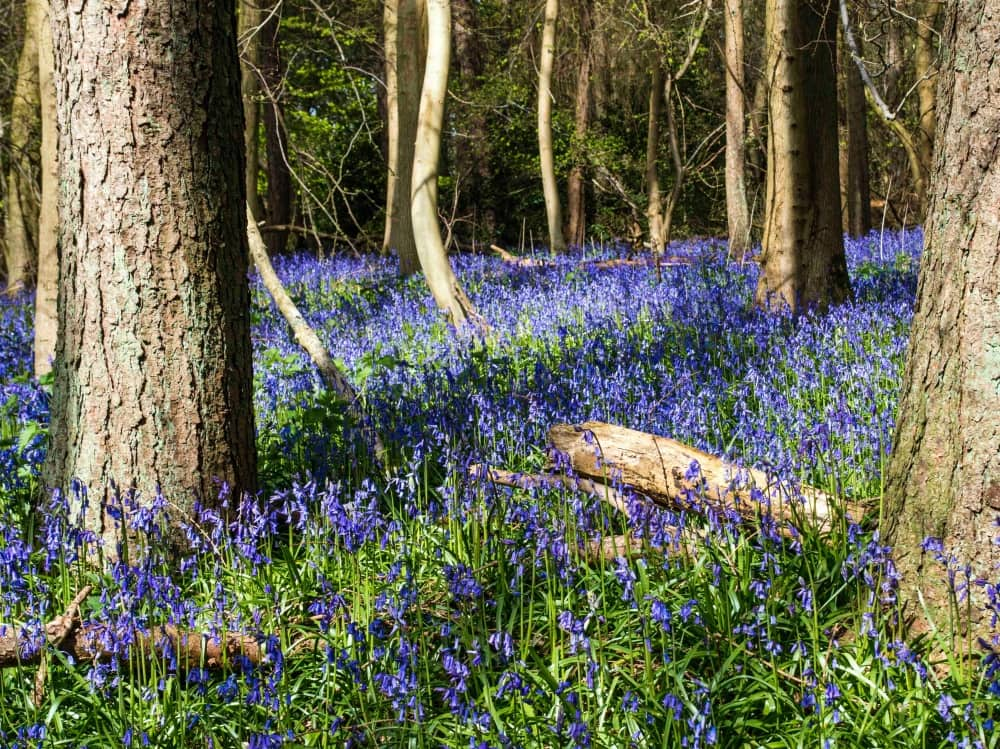 National Trist Bluebell woods Berkshire Photograph by Hugh Mothersole