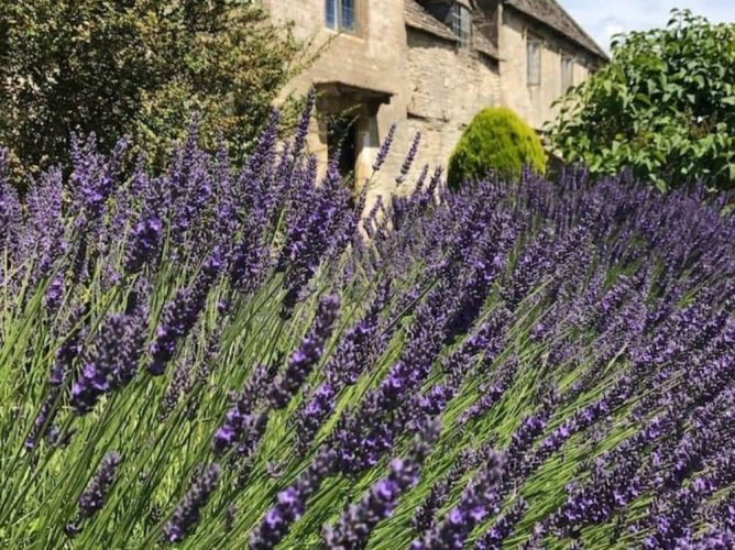 Purple lavender hedge in front of cream Oxford stone traditional cottage