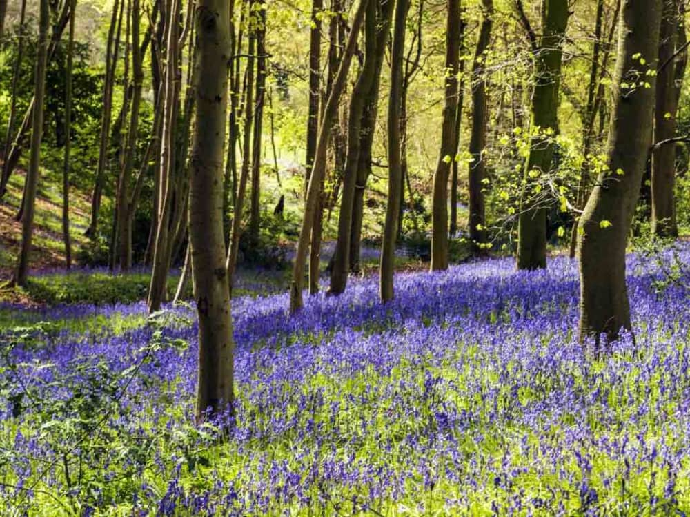 Carpet of blue flowers in the woodland national trust photography by Hugh Mothersole