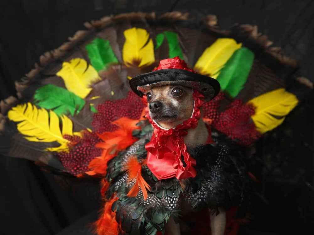 Fest of Chihuahuas Mexican Fiesta
