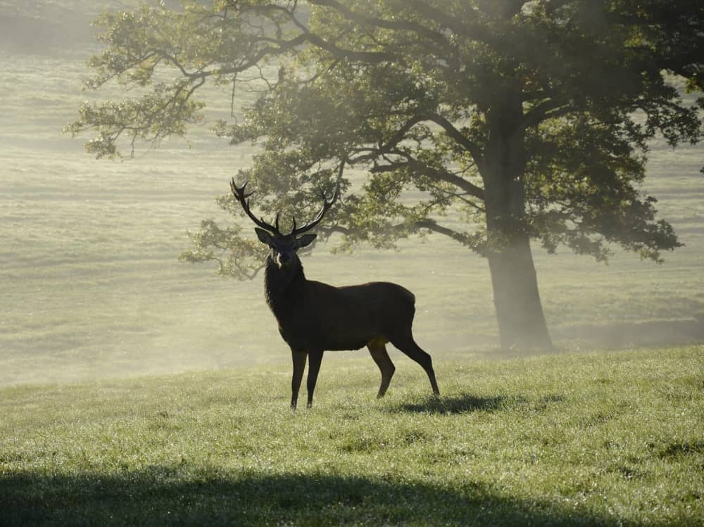 Bucklebury Farm Park Berkshire – Stag in misty field with tree in the background