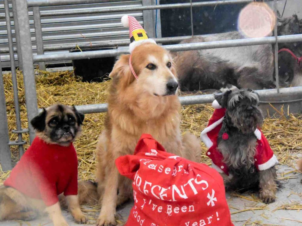 Berkshire and Essex Christmas festival with dog show and party