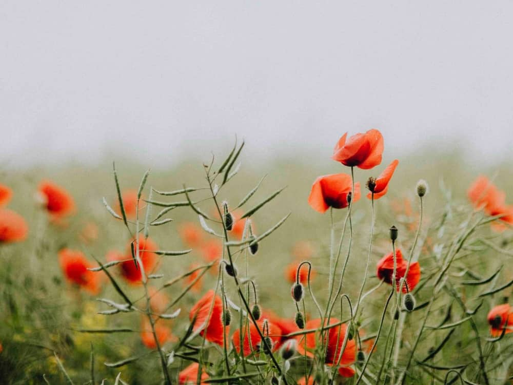 Red poppy flowers in a misty field