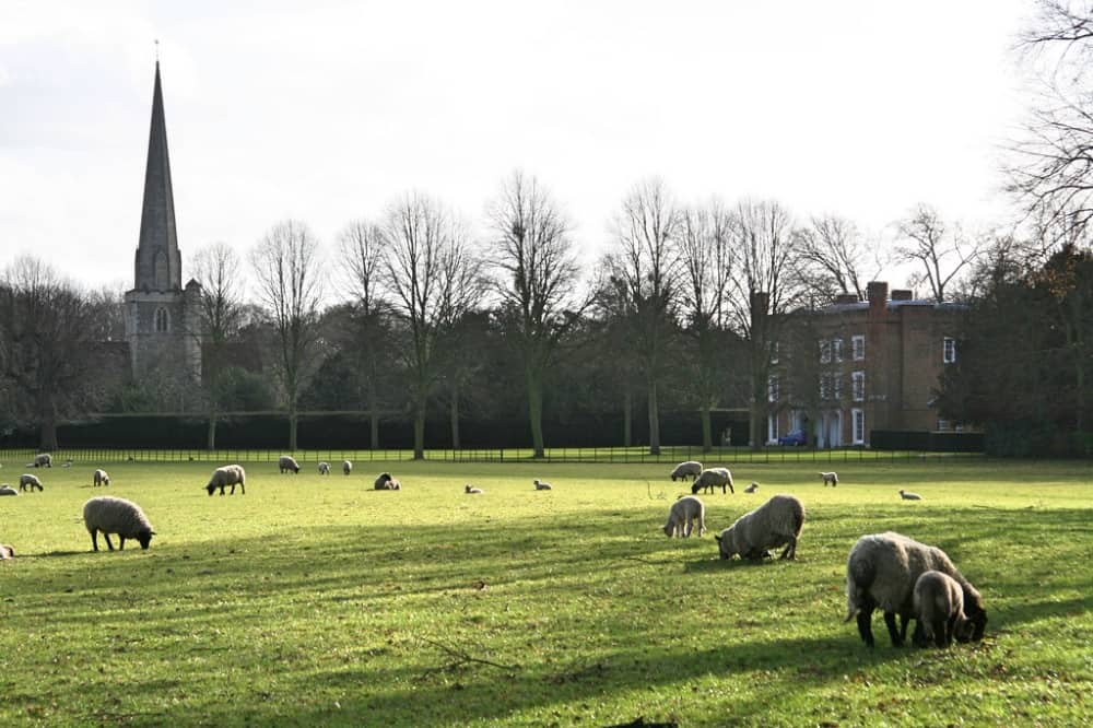 Sheep, church a d house Shottesbrooke Park Maidenhead