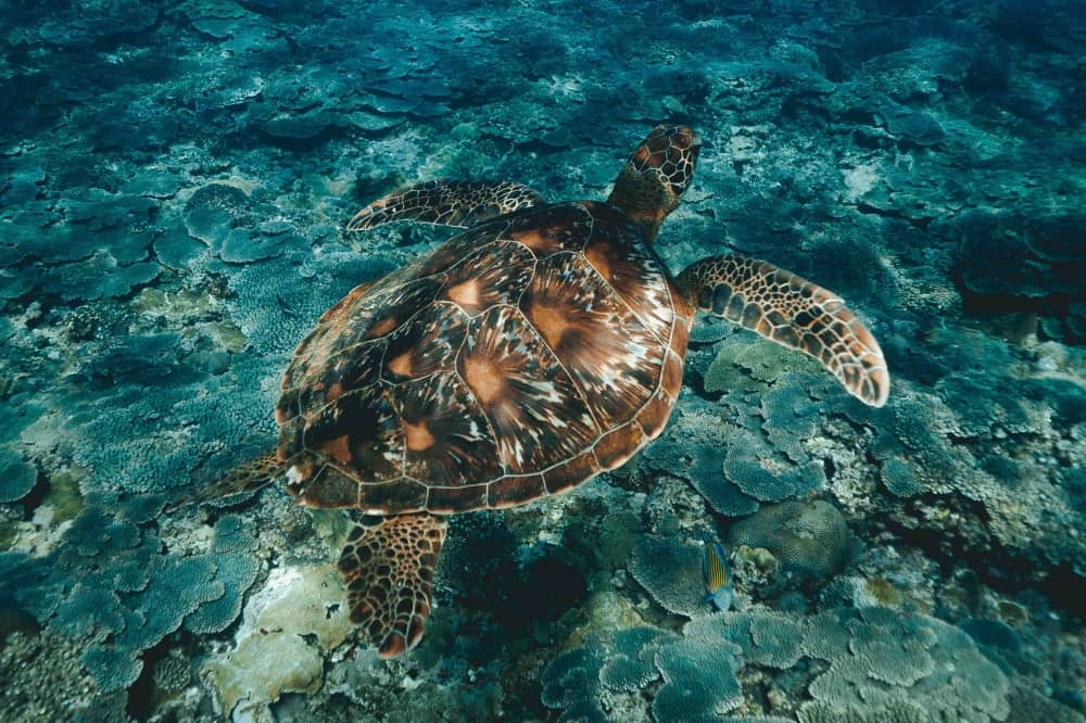 Sea Turtle swimming in ocean