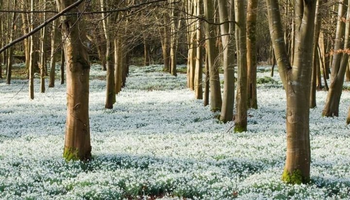 Welford Park snowdrops woodland tress