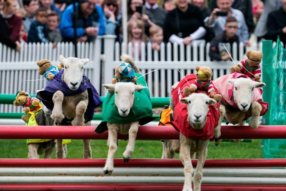 Ascot Spring Family Race Day lamb national sheep with teddy jockeys jump fences