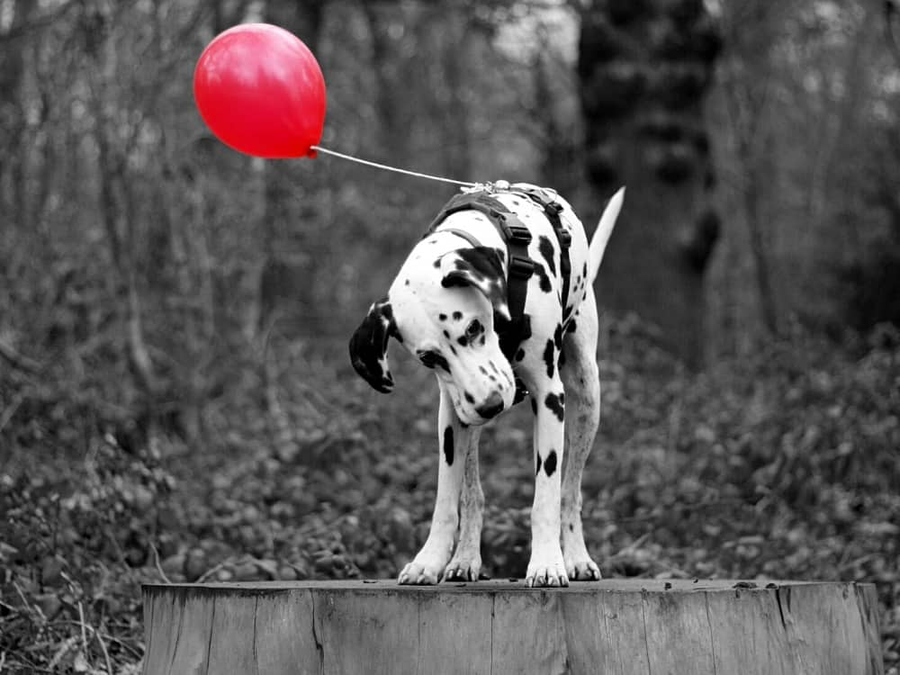 dalmation in the woods with red balloON