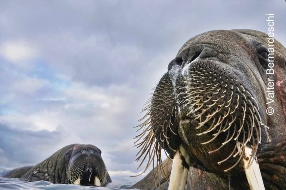 Wildlife photographer of the year walrus close up on ice