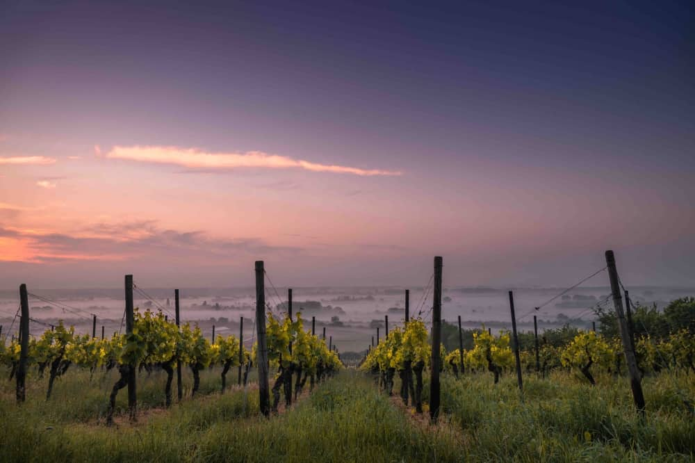 Wine vineyard rows of grape vines pink sunset