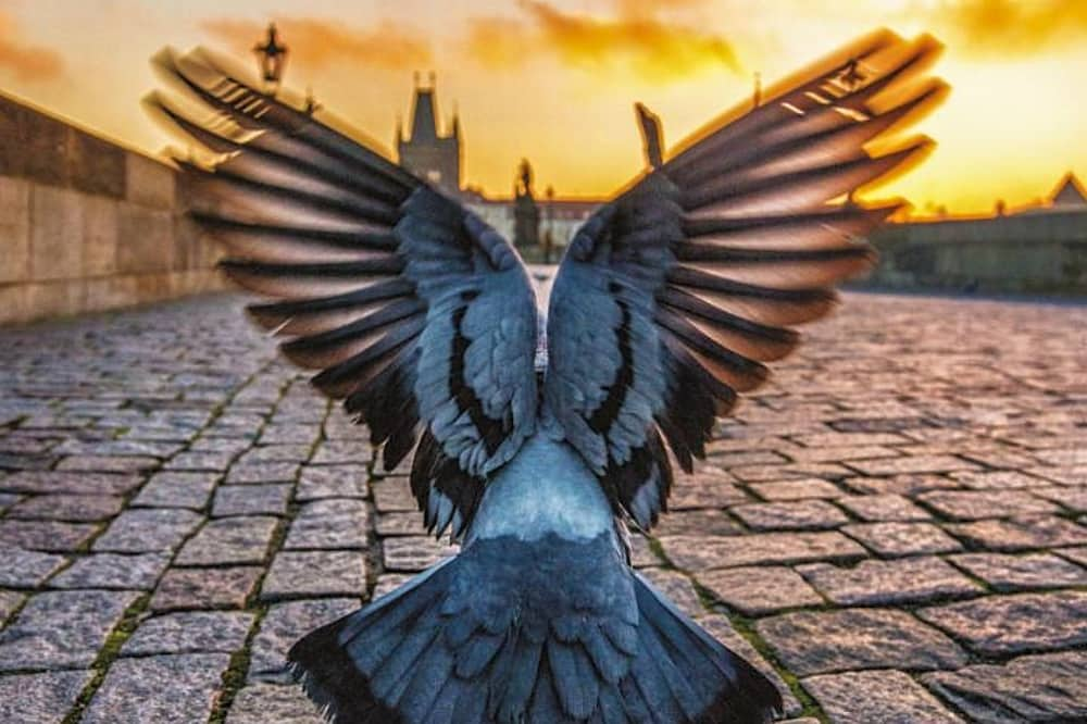 Pigeon flying off the cobble street at sunset