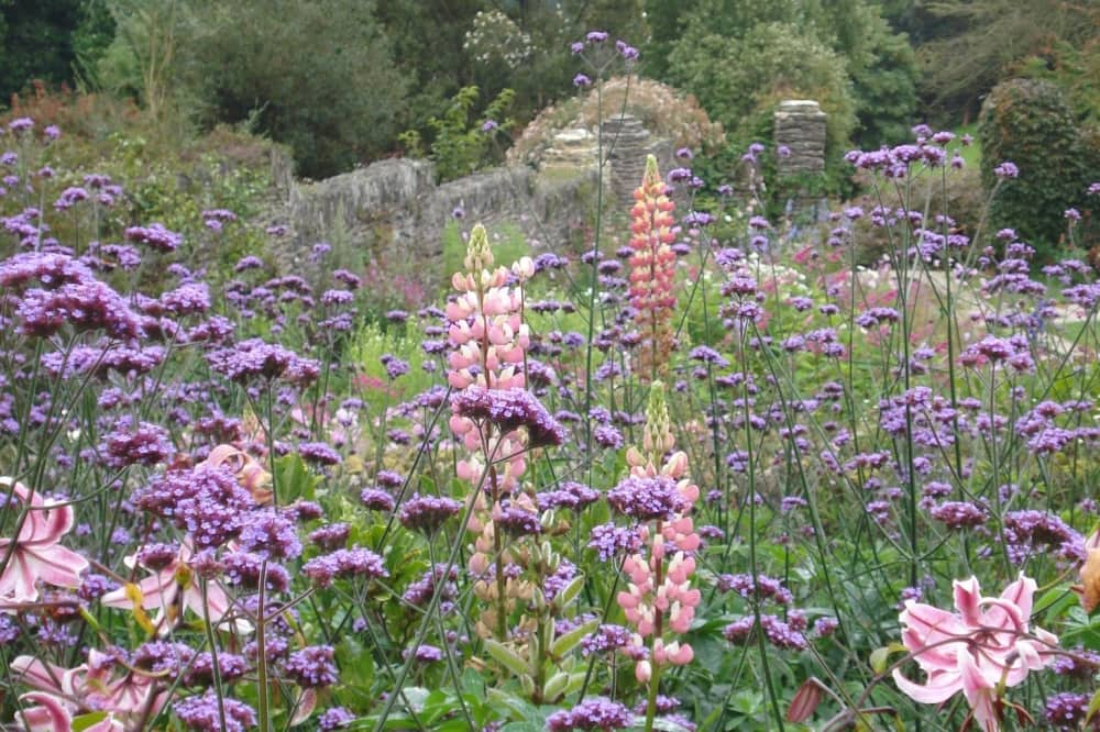 COUNTRY garden lupins and wild flowers in garden setting