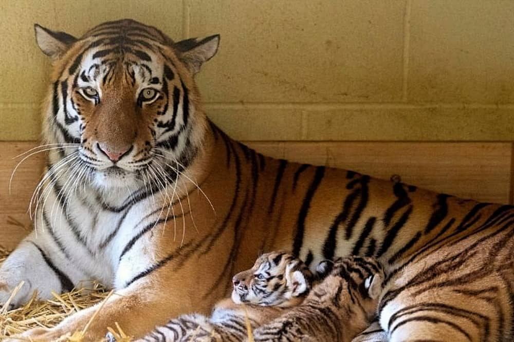 longleat tiger and two cubs