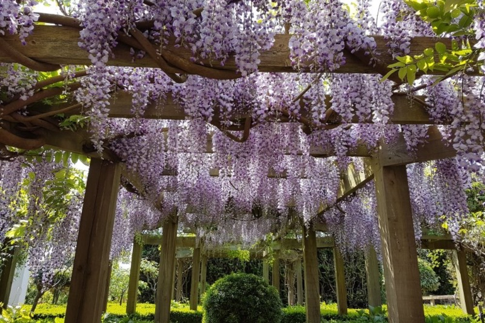 OLD CAMPS HEADLEY WISTERIA