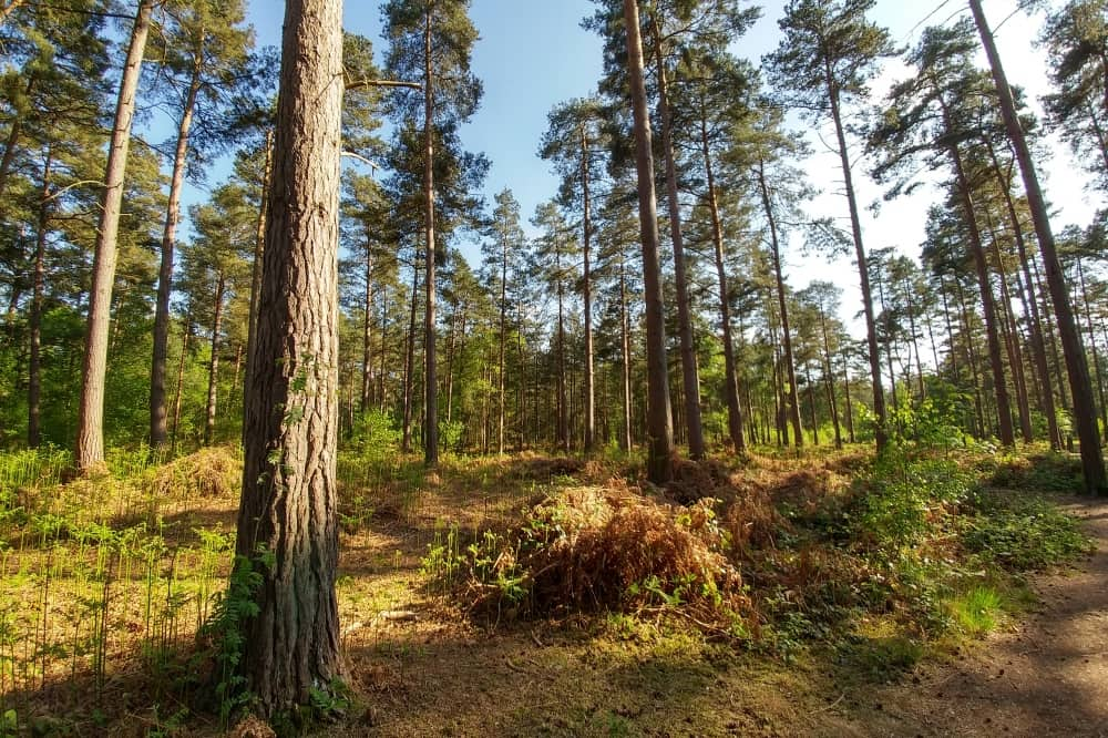 Large pine trees Wokefield Common Mortimer
