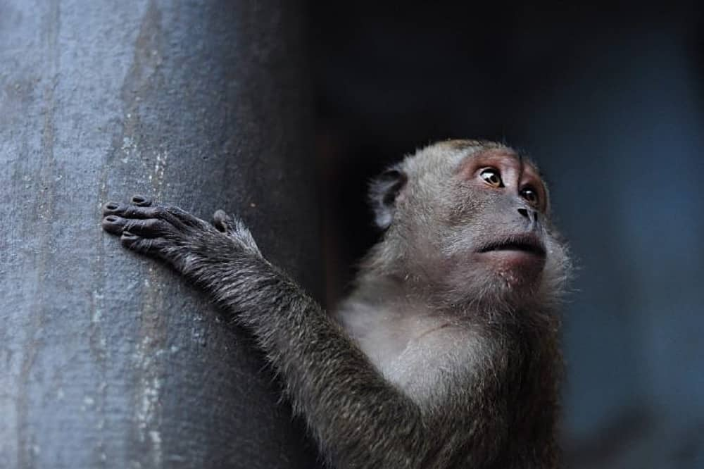 Monkey clinging to a temple pillar