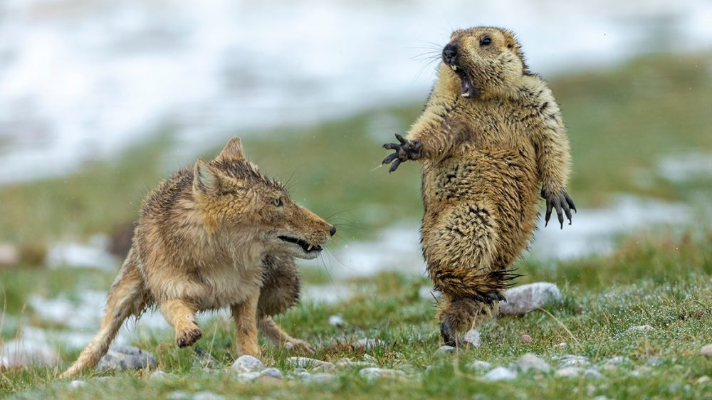The Moment, Yongqing Bao Wildlife Photographer o the year fox about to pounce of shocked marmot