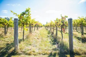Stanlake Park Vineyard