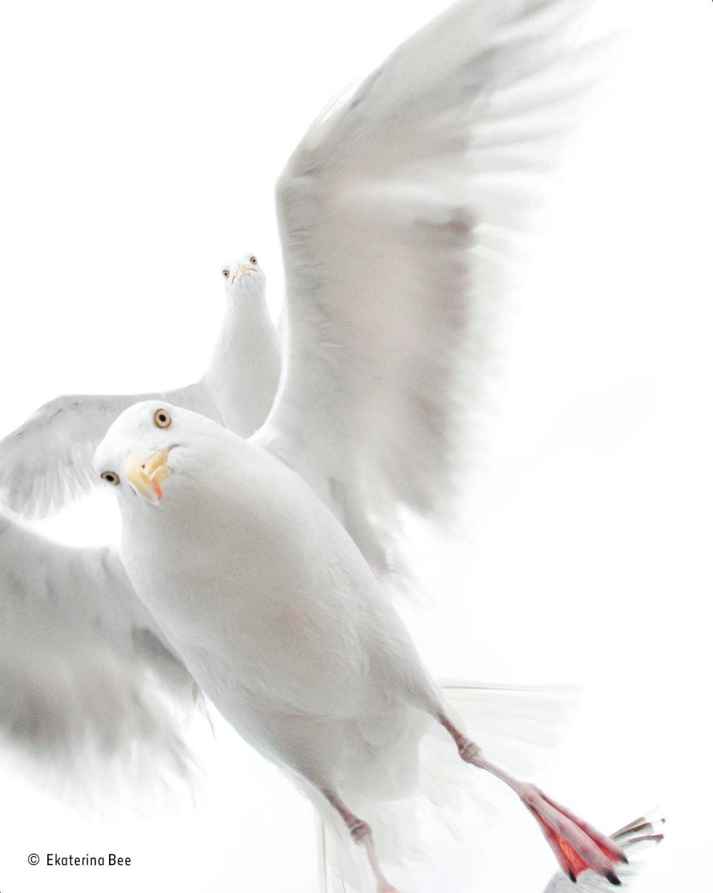 In-the-grip-of-the-gulls_Wildlife Photographer of the year