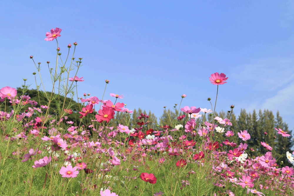 beautiful cosmos flower with blue sky