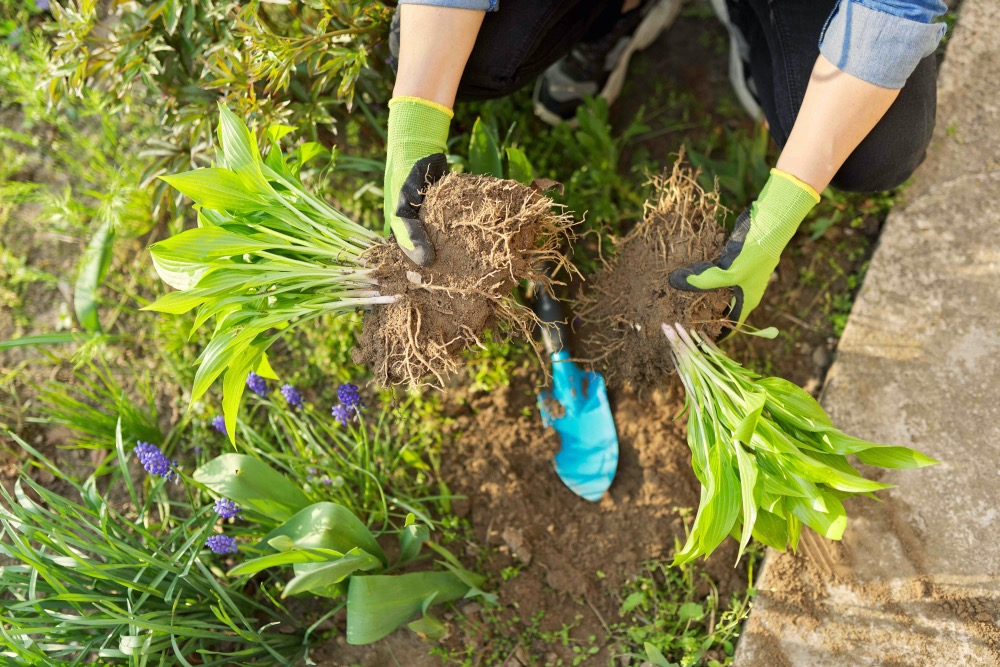 Close-up of spring dividing and planting bush of hosta plant in ground, hands of gardener in gloves with shovel working with hosta, flower bed landscaping backyard