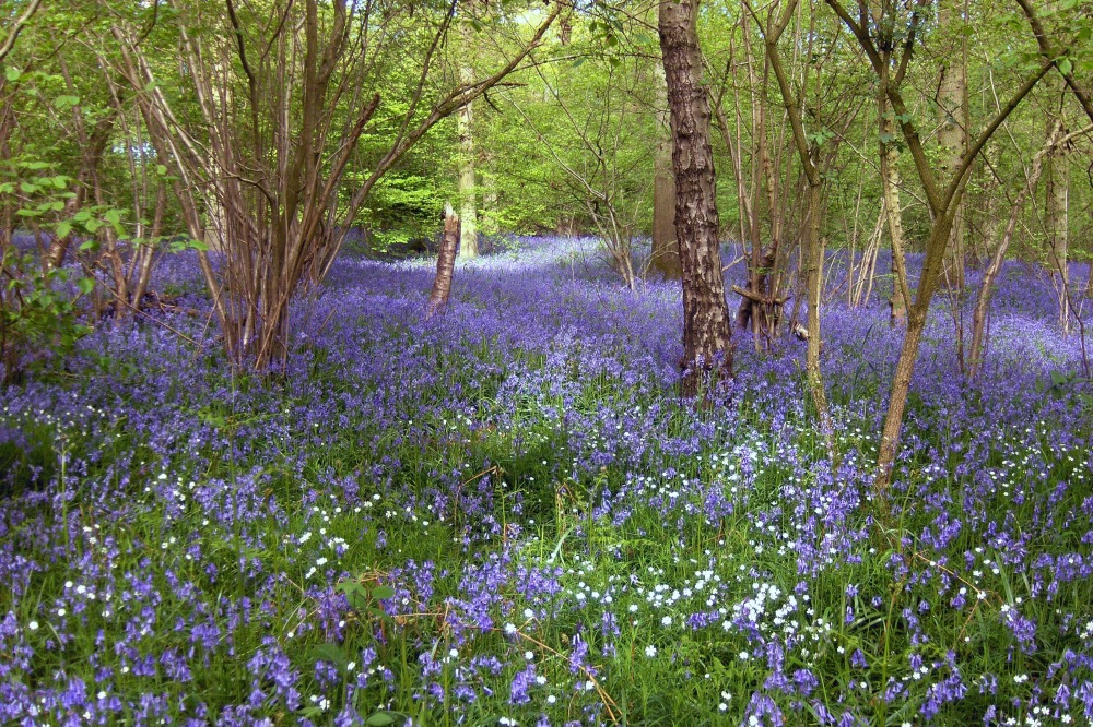 Bluebell walks at Rushall Farm in Reading