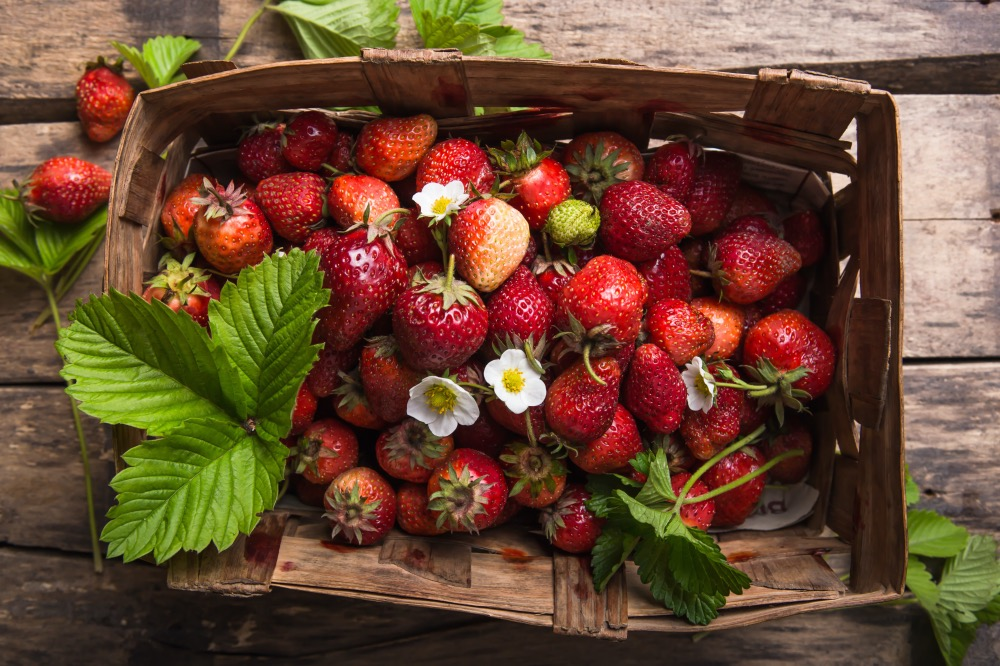 Strawberry field on fruit farm. Fresh ripe organic strawberries in old basket on pick your own